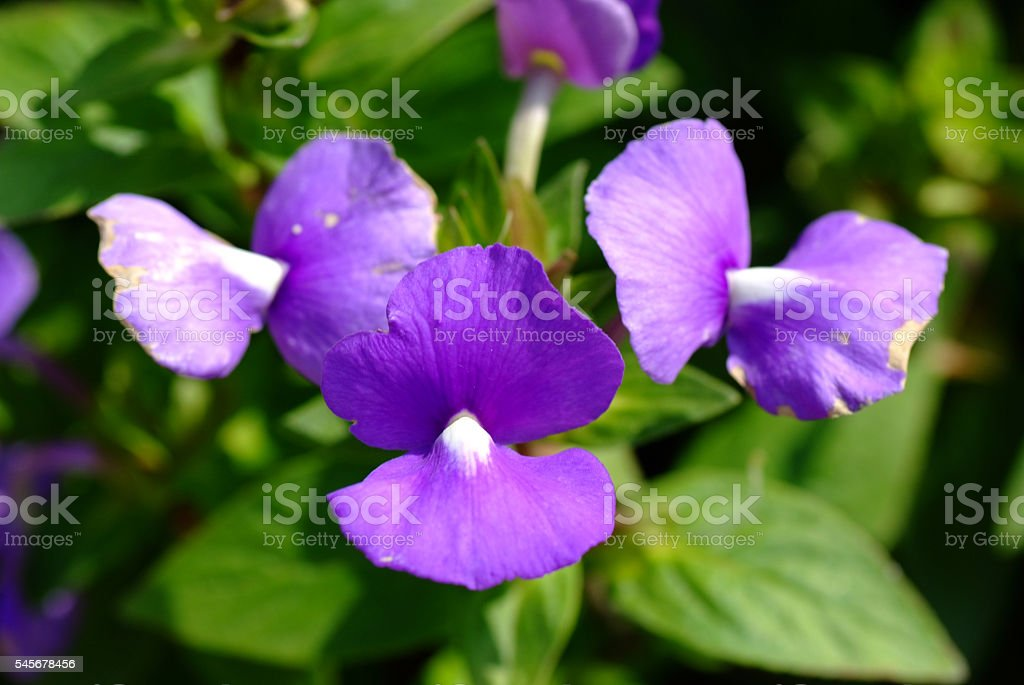 Blue Hawaii flower, Brazilian Snapdraon flower stock photo