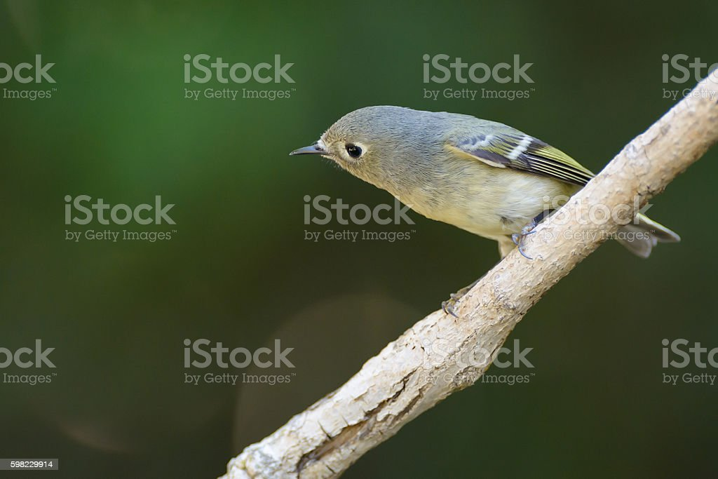 Blue headed Vireo perched foto royalty-free