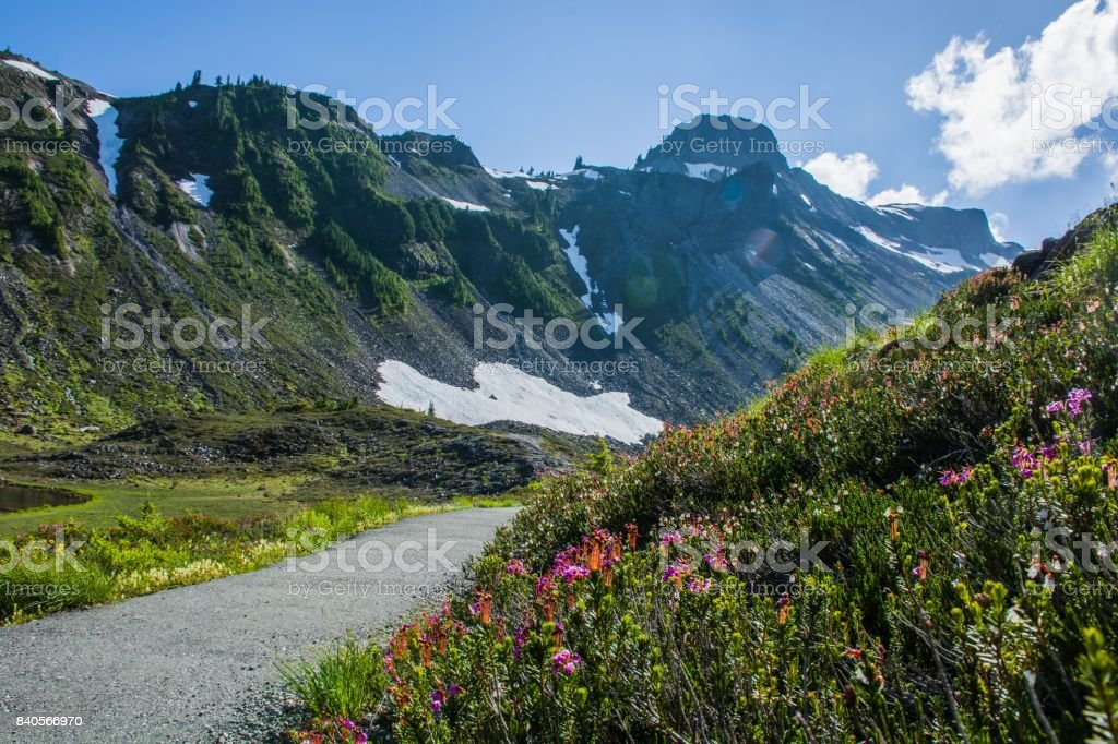 Blue heath or Purple mountain heather (Phyllodoce caerulea) flowers with the mountains landscape stock photo