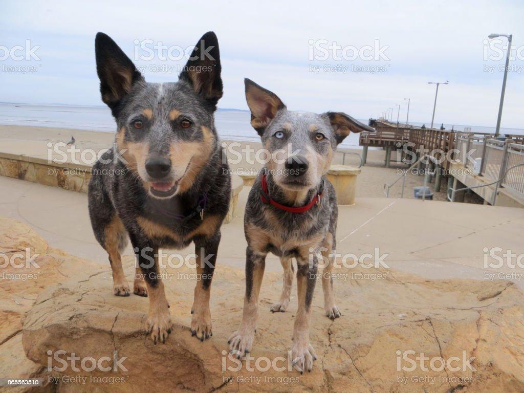 Blue Heeler and Blue Heeler Pup on Rock at Beach stock photo