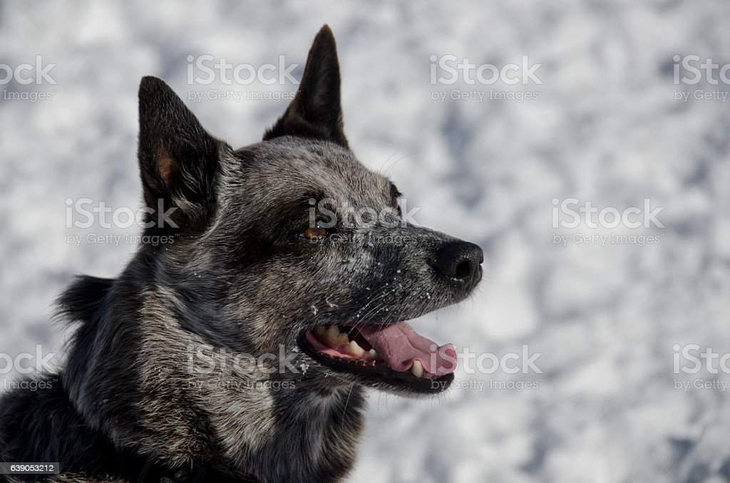 A blue heeler dog enjoys the snow at a local dog park. There is...