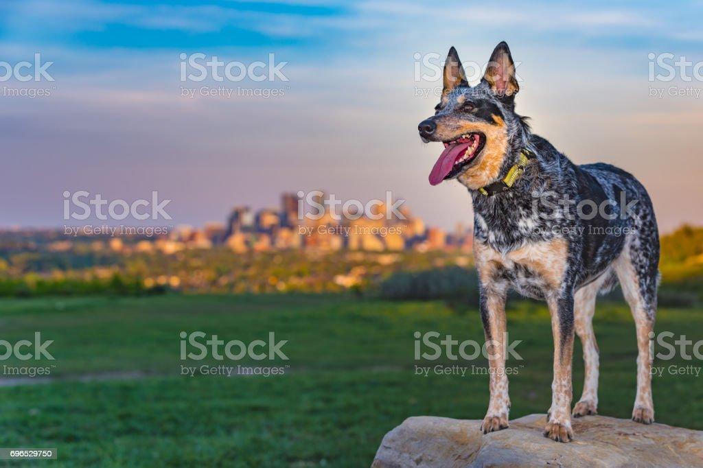 Blue Heeler Dog – zdjęcie