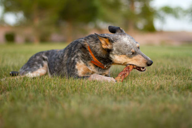 Blue Heeler Mix Chewing Bully Stick on Grass stock photo