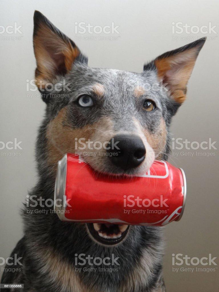 Blue Heeler Mix Dog holding Soda Can stock photo
