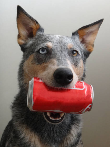 Blue Heeler Mix Dog holding Soda Can stock photo