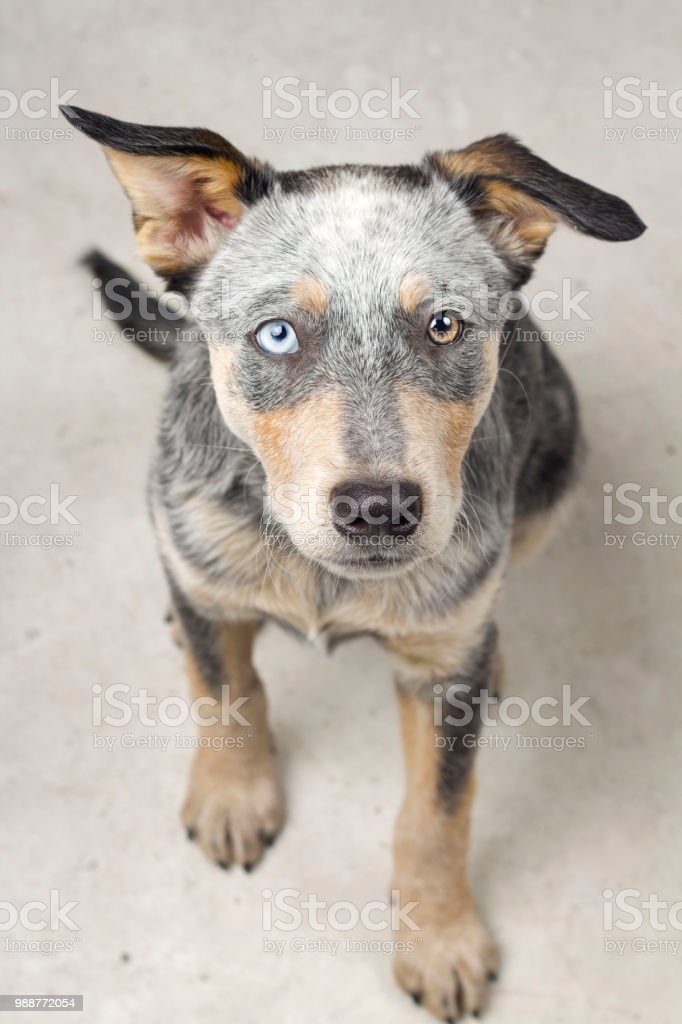 Blue Heeler Mix Puppy with different eyes stock photo