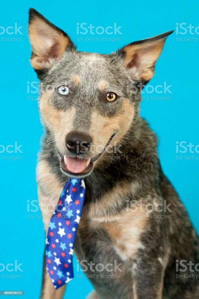 Blue Heeler Mix wearing tie stock photo