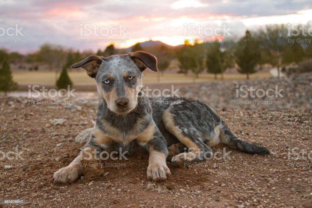 Blue Heeler Mixed Breed dog laying down stock photo