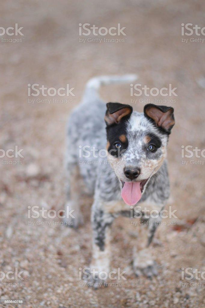 Blue Heeler Mixed Breed Puppy stock photo