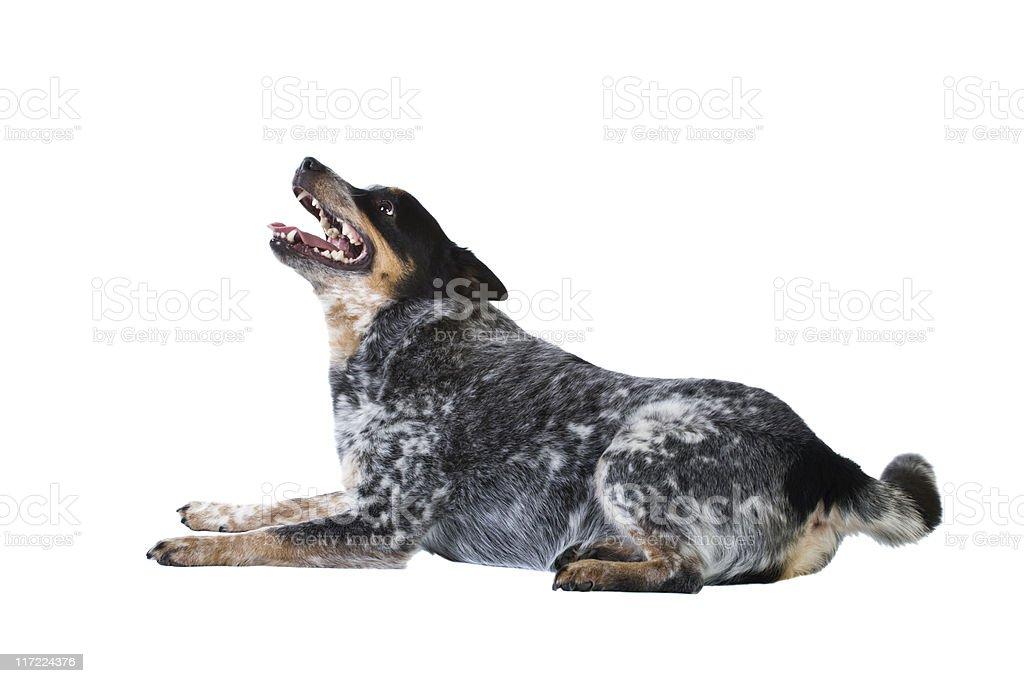 Blue Heeler royalty-free stock photo