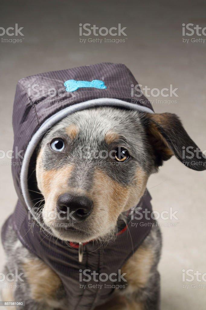 Blue Heeler Puppy Mix in Bone Jacket stock photo