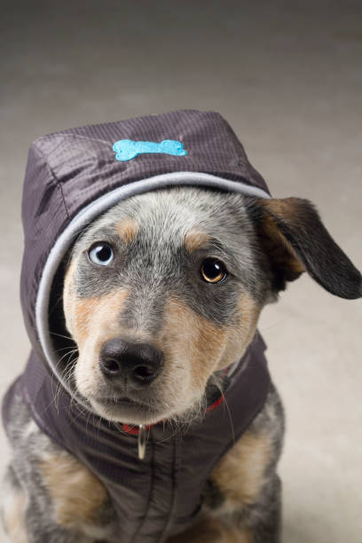Blue Heeler Puppy Mix in Bone Jacket stock photo