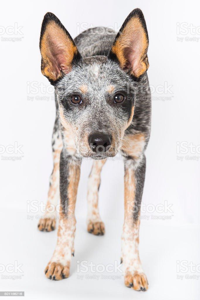 Fotografía de Blue Heeler Cachorro y más banco de imágenes de 2015 ...