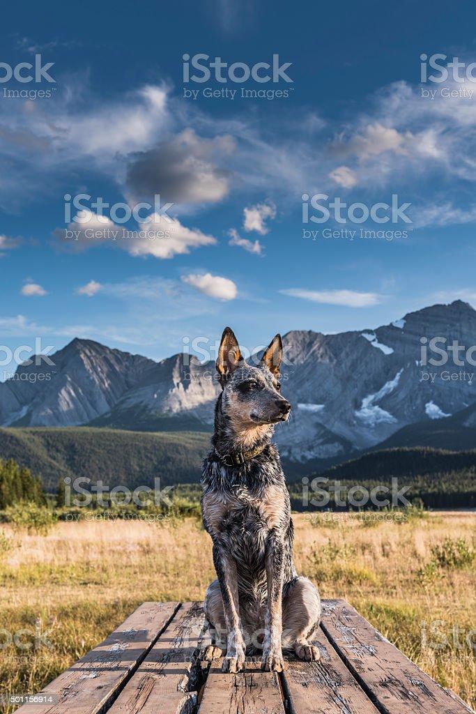 Niebieski Heeler Puppy – zdjęcie