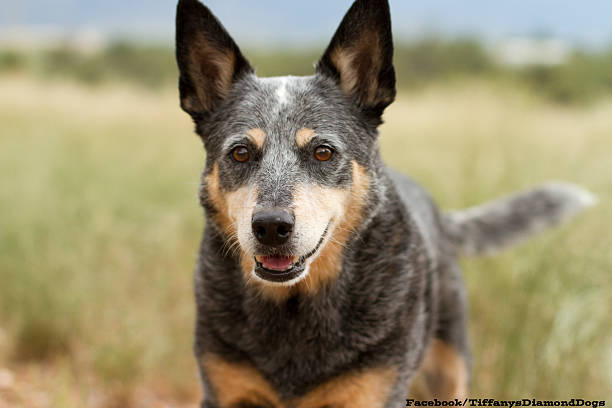 Blue Heeler with natural background stock photo