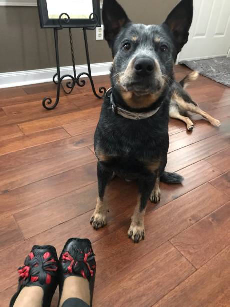 Blue Heeler With Red And Black Asian Shoes On The Hardwood Floor