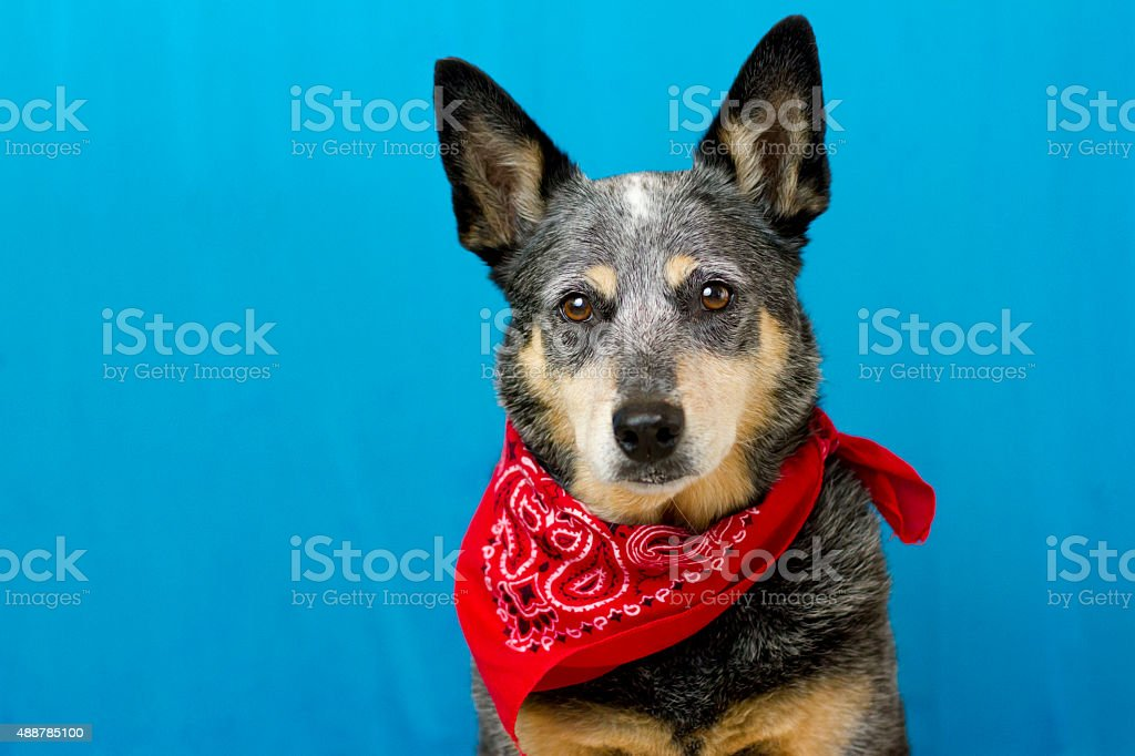 Blue Heeler with red bandanna on blue background stock photo