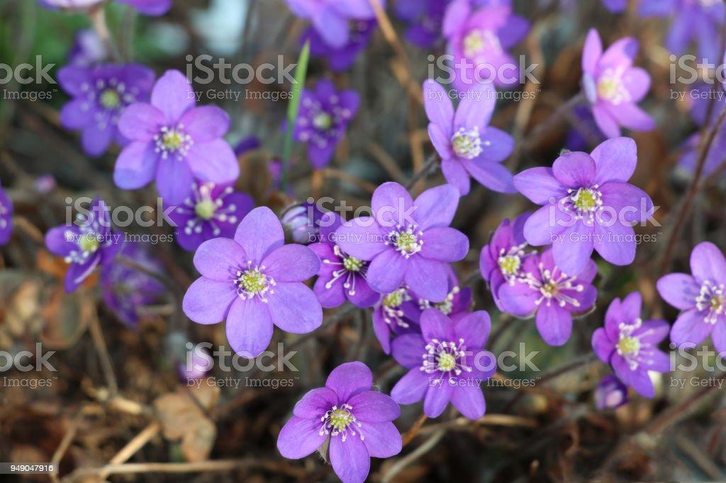 Blue hepatica (Anemone hepatica), (Hepatica nobilis) stock photo
