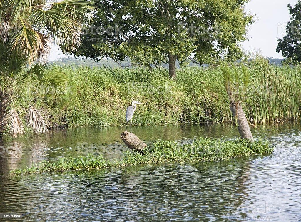 Blue Heron along the St Johns River stock photo