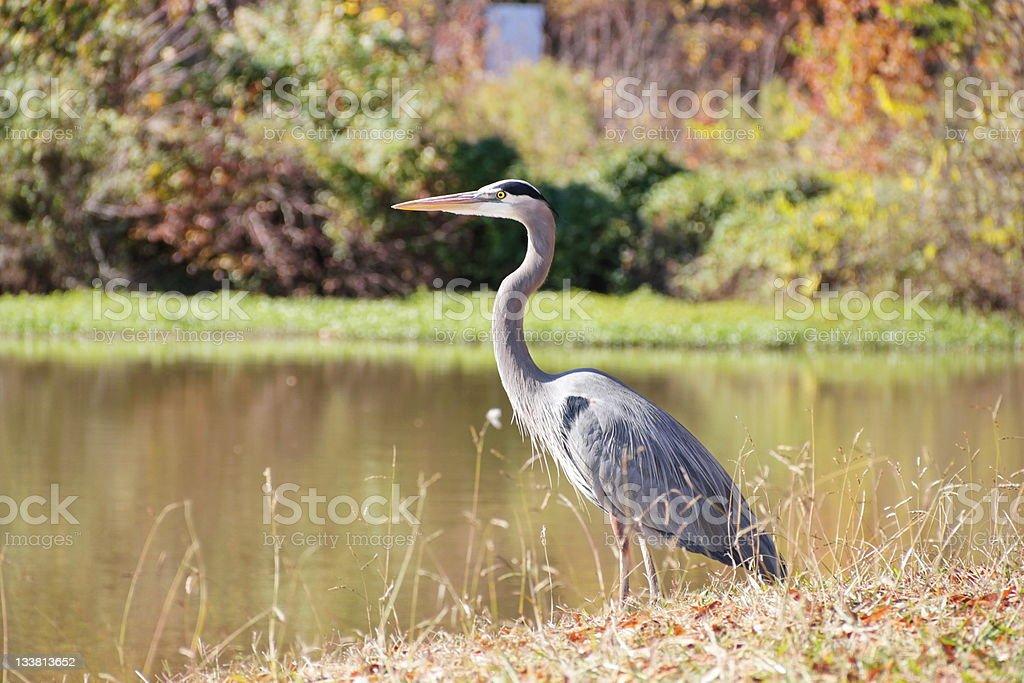 Blue Heron at the Water's Edge stock photo