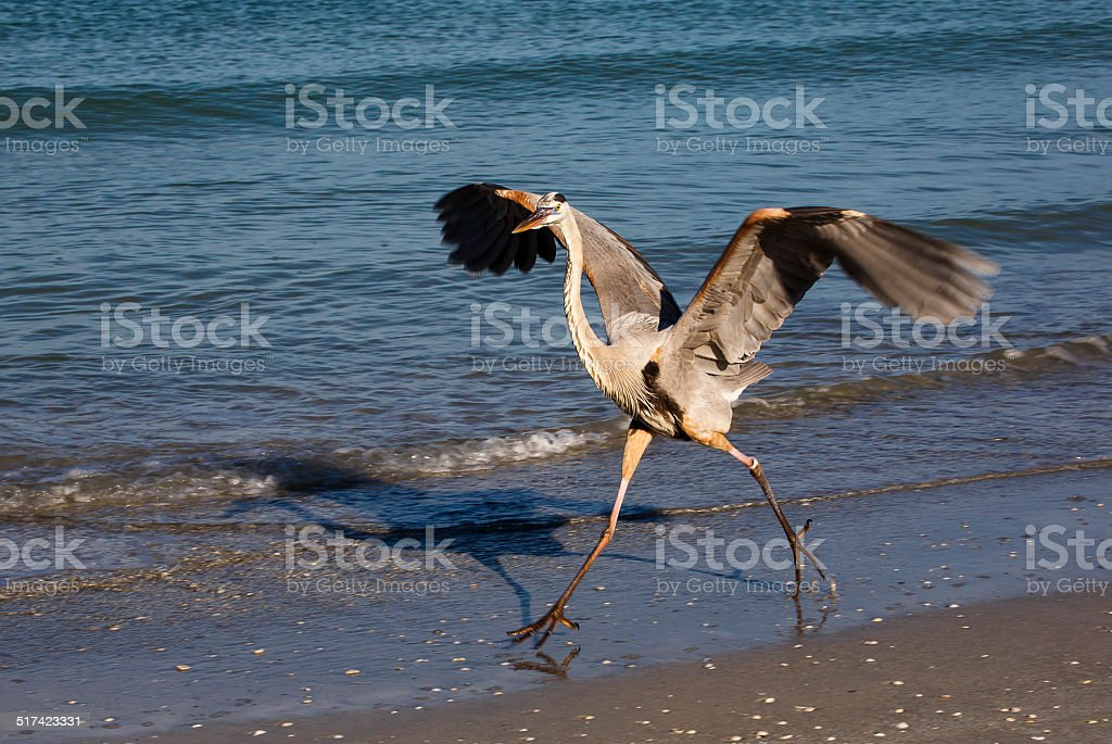 Blue Heron Exercise stock photo