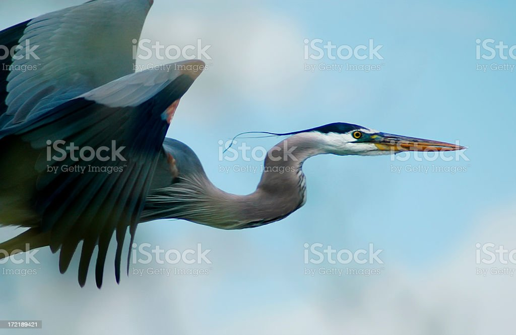 Blue Heron Flight stock photo