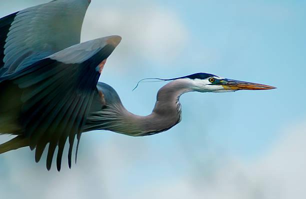 blue heron flight - balıkçıl stok fotoğraflar ve resimler