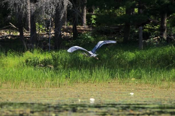 Blue heron flying over wetland stock photo
