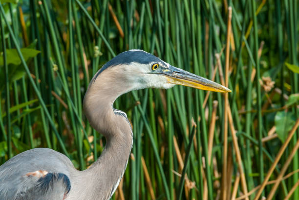 Blue Heron Hunting in the Grass stock photo