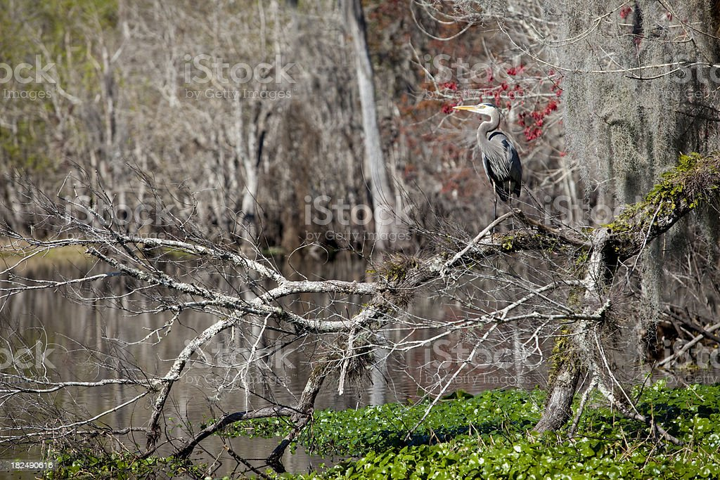 Blue Heron In Tree stock photo