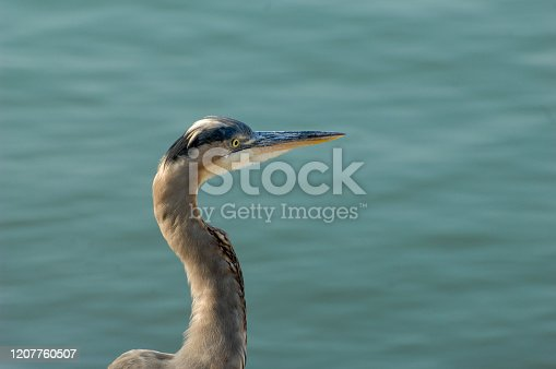 A blue heron poses for a picture alongside the harbor in Ventura, California.  The birds of the harbor make for a stunning view adding to the surrounding beauty.