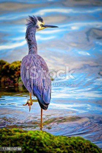 istock Blue Heron (Ardea herodias) 1128110748