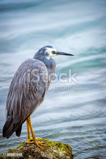 istock Blue Heron (Ardea herodias) 1138962549