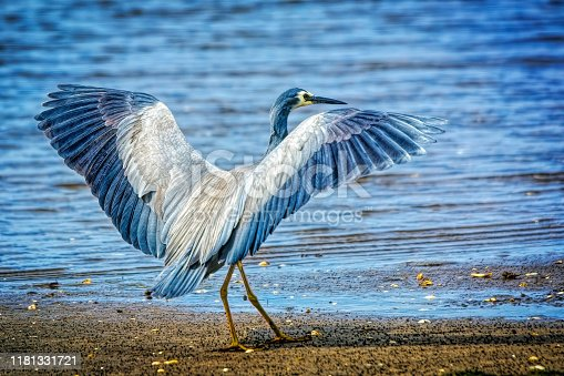 istock Blue Heron (Ardea herodias) 1181331721