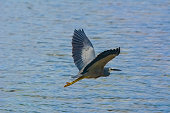 A Great Blue Heron in flight over the ocean