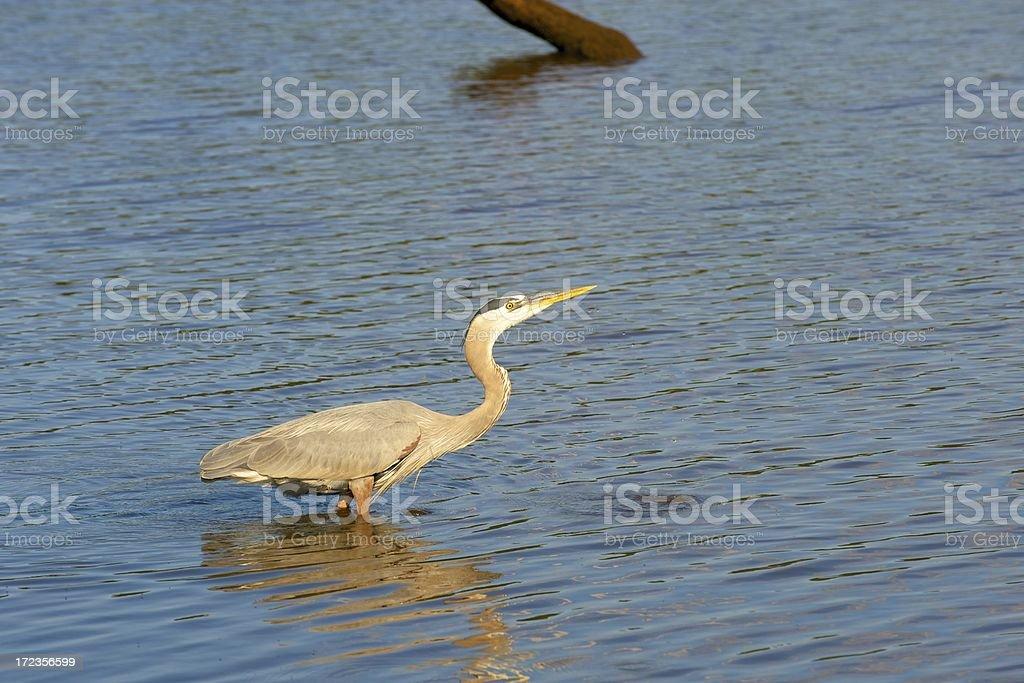 blue heron royalty-free stock photo