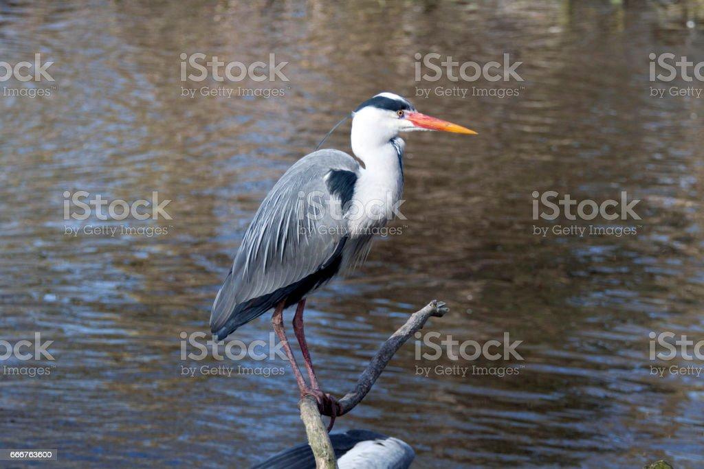 Blue heron foto stock royalty-free