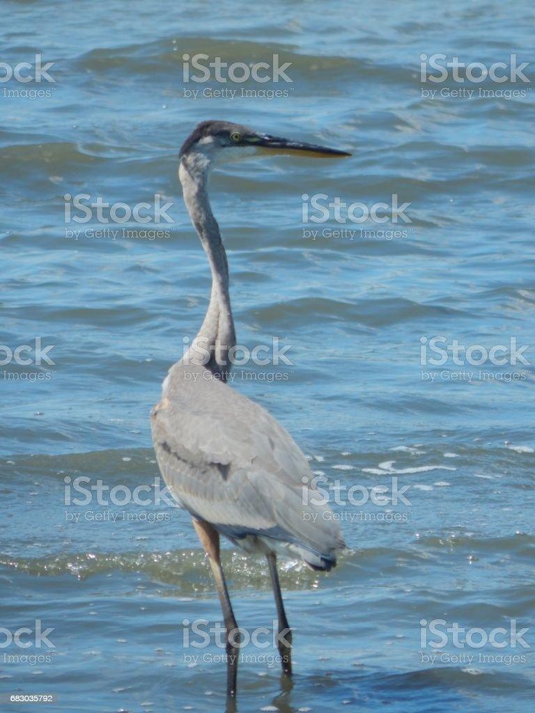 Blue Heron foto de stock royalty-free