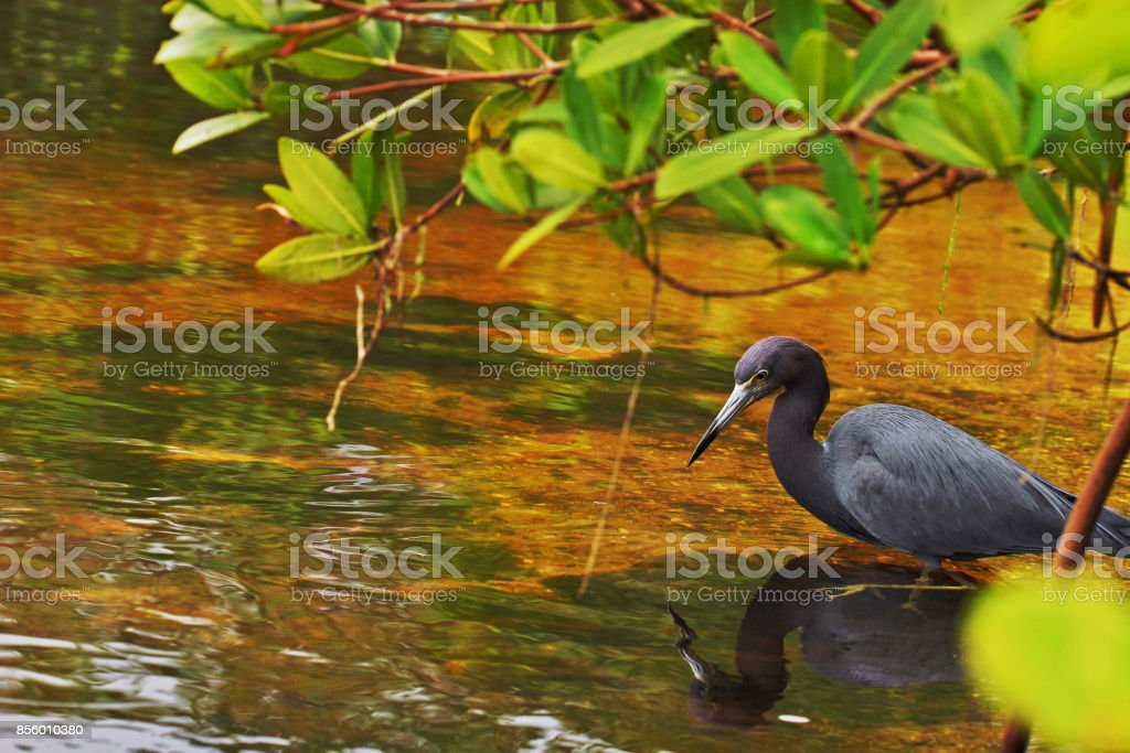 Blue Heron - Royalty-free Blue Stock Photo