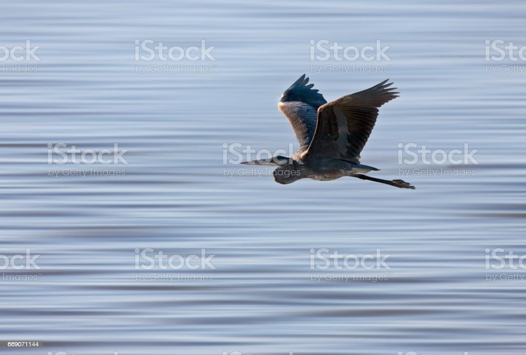 Blue Heron Saskatchewan stock photo