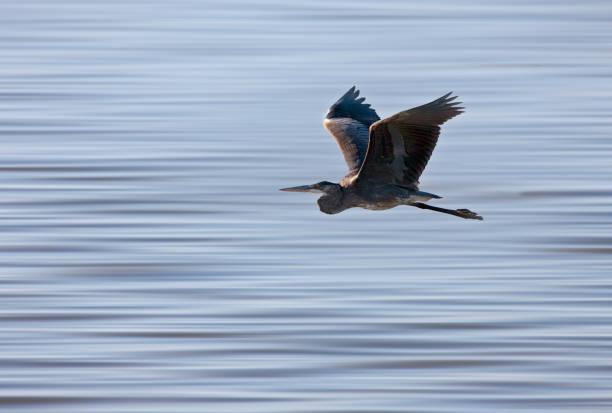 Blue Heron Saskatchewan stock photo