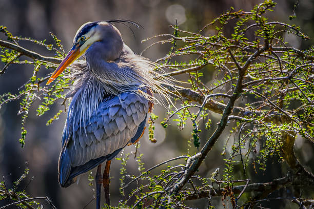 Blue Heron Side Profile A beautiful side profile of a Great Blue Heron enjoying a warm summer breeze. wildlife reserve stock pictures, royalty-free photos & images