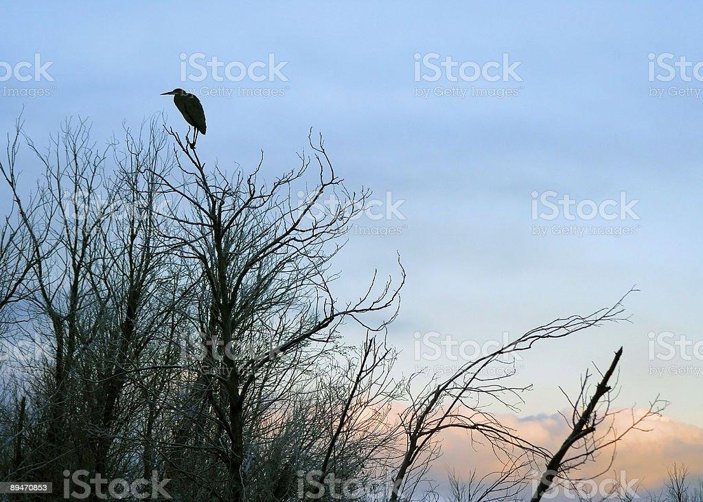 Blue Heron Silhouette (Sunrise) stock photo