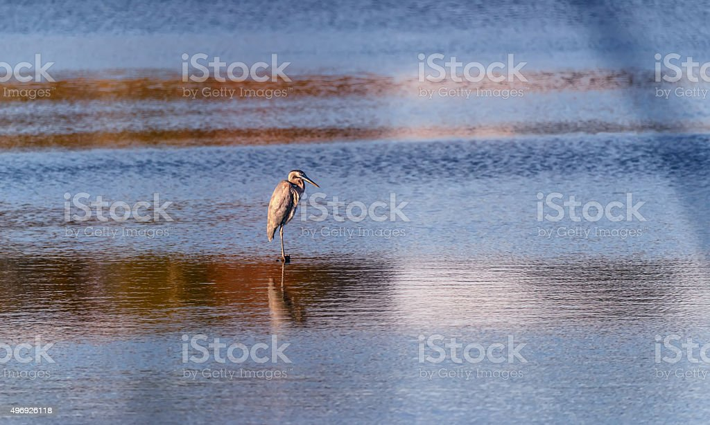 Blue Heron standing in a pond at sunset stock photo