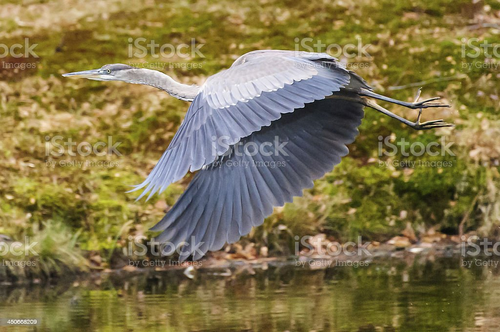 Blue Heron Takes Flight (wing downbeat) stock photo