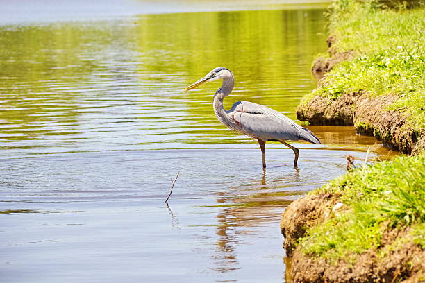 Blue Heron Wading at the Water Edge stock photo