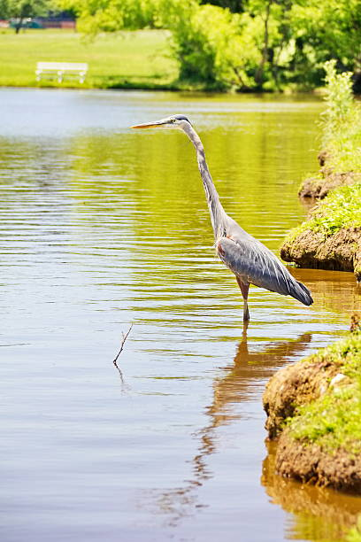 Blue Heron Wading at the Water Edge, Vertical stock photo
