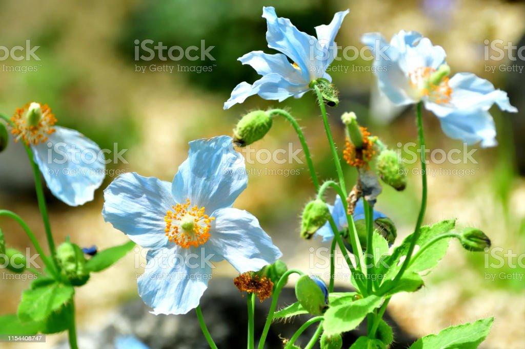 Blauer Himalaya-Poppy/Meconopsis betonicifolia Flower - Lizenzfrei Asien Stock-Foto