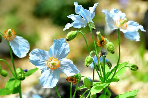 Blauer Himalayapoppymeconopsis Betonicifolia Flower Stockfoto und mehr Bilder von Asien