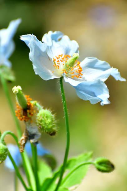 Blauer Himalaya-Poppy/Meconopsis betonicifolia Flower – Foto